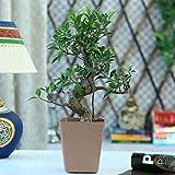 Exotic Green S Shape Ficus Bonsai