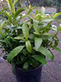 Night Blooming Jasmine Plant -- 6 by 6 Inch Container
