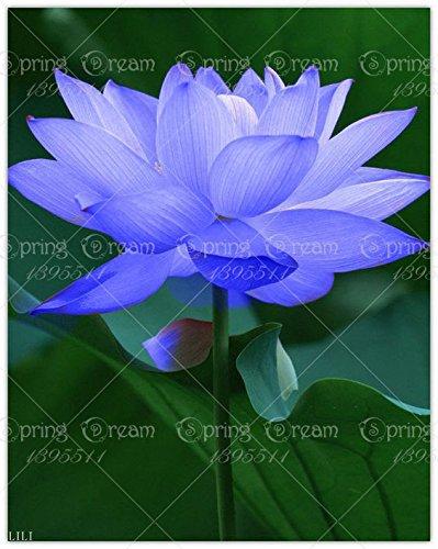 nuovi-5pcs-sacchetto-del-fiore-di-loto-semi-di-loto-piante-acquatiche-ciotola-semi-di-acqua-di-loto-