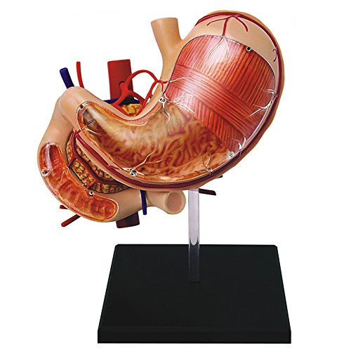 Famemaster 4D-Vision Human Stomach Anatomy Model (Digestive System Model compare prices)