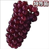 国華園 果樹苗 ブドウ デラウェア 1株