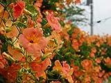 【6か月枯れ保証】【つる性】ノウゼンカズラ/オレンジ花 0.1m
