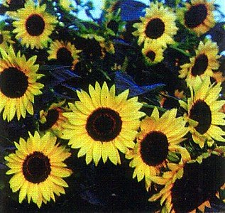Buy Giant Primrose Sunflower 50 Seeds &#8211; Helianthus annuus &#8211; FREE SHIPPING ON ADDITIONAL HIRTS SEEDS