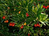 Tree Seeds Online - Arbutus Unedo- Strawberry Tree 20 Seeds - 2 Packs