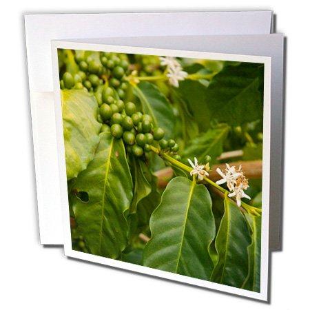 Danita Delimont - Farms - Usa, Hawaii, Greenwell Kona Coffee Farm - Us12 Iho0026 - Inger Hogstrom - 12 Greeting Cards With Envelopes (Gc_144273_2)