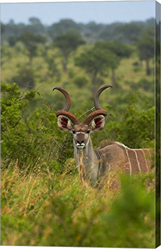 Male greater kudu, Kruger National Park, South Africa by David Wall / Danita Delimont Canvas Art Wall Picture, Gallery Wrapped with Image Around Edge, 16 x 25 inches (Kudu Edge compare prices)