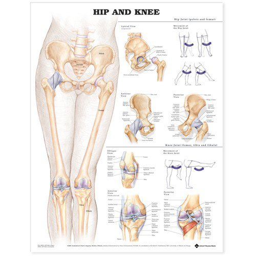 Hip and Knee Anatomical Chart (Anatomy Chart Muscles compare prices)