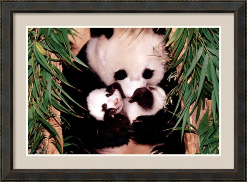 Panda Mother And Baby By Unknown Framed front-1070070