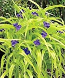 Tradescantia Blue and Gold plant in a 2 litre pot. Hardy Perennial. Spiderwort
