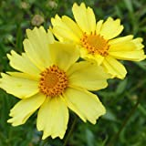 'Full Moon' Coreopsis Perennial Plant – Drought Resistant – One Quart Pot