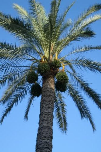 10 Canary Island Date Palm Phoenix Reclinata Canariensis Tree Seeds *Comb S/H