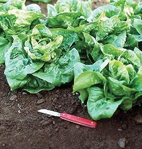 Lettuce Buttercrunch D435 (Green) 500 Seeds by David's Garden Seeds