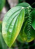 TROPICA - Black Pepper (Piper nigrum) - 20 Seeds - Useful Plants