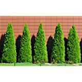 Emerald Green Arborvitae Evergreen Trees- Perfect for Privacy- Large, Developed Trees up to 3 ft. Tall with Advanced Root Systems