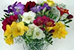 15 Beautiful Long Stemmed Freesias wi...