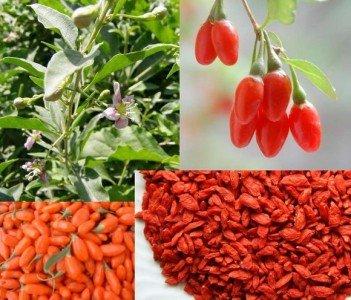 bacche-di-goji-50-semi-chiamato-il-frutto-della-longevita