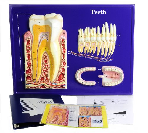 American Educational Teeth Model Activity Set