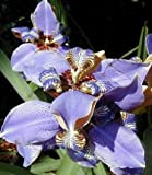 Blue Walking Iris Plant – Neomarica – Rare Houseplant