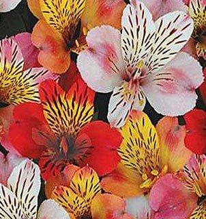 Send Fresh Cut Flowers - 50 Alstroemerias Wholesale
