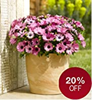Large Patio Pot - Osteospermum
