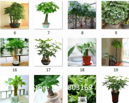superior-pachira-semi-macrocrpa-promozione-24-tipi-di-100pcs-rare-semi-fower-per-giardino-casa-e-gia