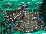 活き締め 渡り蟹 オス、メス混在( ワタリガニ )約1.5kg分(3~5はい) 瀬戸内海産