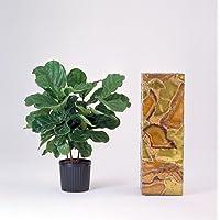 Hirt's Fiddleleaf Fig Tree - Ficus - Great Indoor Tree - Easy - 6
