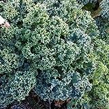 Indian Gardening Vegetable Kale Vates Blue Scotch Curled 30 Finest Seeds