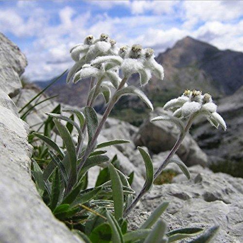 paleo-10pcs-semilla-rara-flor-edelweiss-leontopodium-alpinum