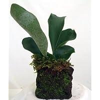 Reindeer Fern Hawaiian Volcano Plant - Easy to Grow Indoors