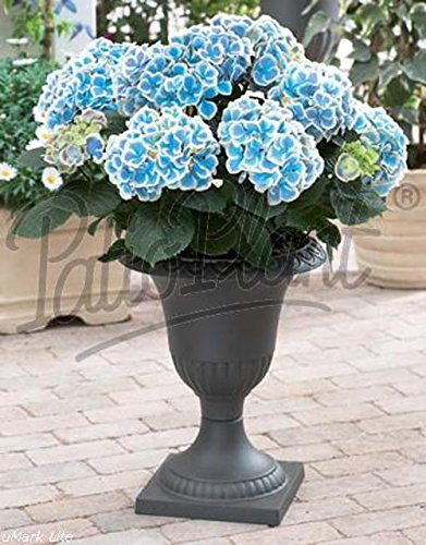 verschiedene hortensien hydrangea blau wei macrophylla bicolor bavaria. Black Bedroom Furniture Sets. Home Design Ideas