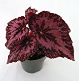 "Flaming Midnight Rex Begonia Plant - 4"" Pot - Great Houseplant"
