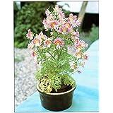 Flower Seeds : Butterfly Flower Flower Seeds For Garden - Kitchen Garden Pack By Creative Farmer