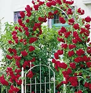 Scented climbing roses plants roses plants sweet roses 20 10 free at 7 item red - Climbing plants that produce fragrant flowers ...
