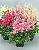 SeeKay Astilbe arendsii Showstar - 35 seeds - Perennial