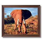 Elephant Large Tusk Close Up African Animal Wildlife Wall Picture Cherry Framed Art Print
