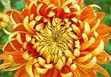 Orange Blossom Chrysanthemum Flower Seeds 50 Stratisfied Seeds