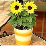 Generic 10 Seeds Mini Sunflower Seeds Dwarf Sunflower Seeds Sunflower Series Height 40cm Flower Seeds-Color 3