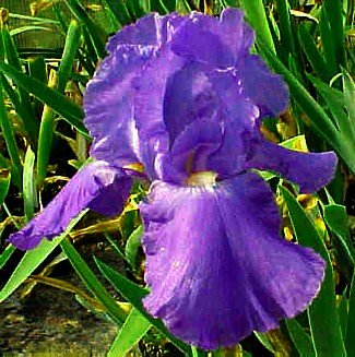 Sugar Blues Tall Bearded German Iris