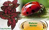 Live Ladybugs - Approximately 1550 + Hirts Nature NectarTM & Live Lady Bug Plant