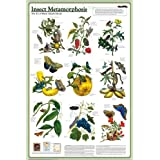 Insect Metamorphosis Deluxe Laminated Poster