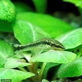 (熱帯魚)オトシンクルス(3匹) 本州・四国限定[生体]