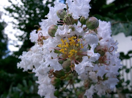 35 WHITE CREPE MYRTLE Lagerstroemia Flowering Shrub Bush Small Tree Seeds (Small Bushes compare prices)