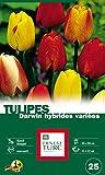 Ernest TURC Pack de 25 Bulbes Tulipe Darwin Hybrides Multicolore 13,5 x 7 x 23 cm 108976
