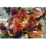"""Carnivorous Purple Pitcher Plant - Sarracenia purpurea - 3"""" Pot"""