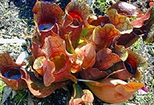 "Carnivorous Purple Pitcher Plant - Sarracenia purpurea - 3"" Pot"