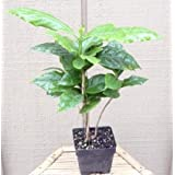 Arabica Coffee Bean Plant - 4