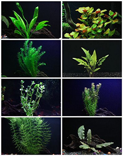 30+ Stem Aquarium Plants Bundle - 8 Species - Anacharis, Amazon, Rotala, Ludwigia and more! (Aquarium Plants Package compare prices)