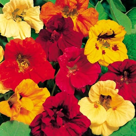 suttons-seeds-123960-nasturtium-jewel-mix-seed