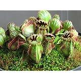 Cephalotus Folliculari Carnivorous VERY RARE Australian Pitcher Plant 3 Seeds